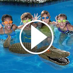 Play video for The Pool Guarding Gator